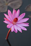 Pink colour lotus flower Stock Photo