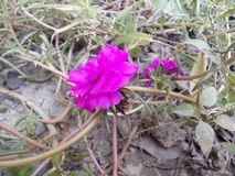 Noon flower. Pink colour noon flower in my garden captured closely royalty free stock photos