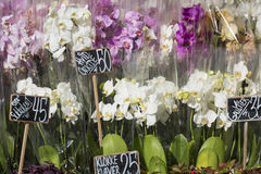 Pink colour orchids for sale. Stock Images
