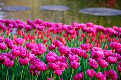 Pink colour tulips reflecting the sun at Keukenhof Gardens, Lisse, South Holland. Photographed in HDR high dynamic range. Vibrant colour tulips on display at royalty free stock images