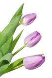 Pink coloured tulips Royalty Free Stock Image
