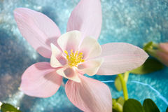 Pink columbine. Close-up view of single pink columbine flower against a blue crystal bowl blurred and resembling water Royalty Free Stock Image