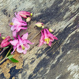 Pink Columbine Aquilegia flower on old wooden background Royalty Free Stock Images