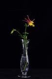 Pink Columbine on Black Background Stock Photography