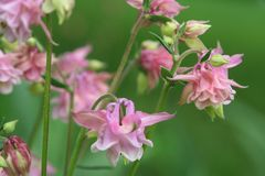 Pink columbine blooms dance on a spring breeze Royalty Free Stock Photography