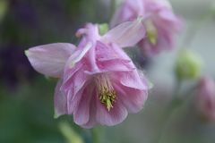 Pink columbine Stock Photos