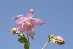 Pink columbine flower Stock Photo