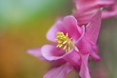 Pink Columbine flower Royalty Free Stock Photography