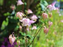 Pink columbine flowers Royalty Free Stock Photos