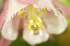 Pink columbine after a rain. Water droplets on a pink columbine after a rain  in Colorado Stock Image