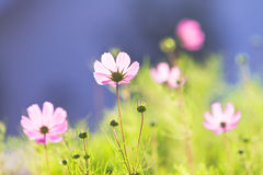 Pink common cosmos flowers. Beautiful pink common cosmos flowers in back light Royalty Free Stock Photo