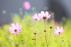 Pink common cosmos flowers. Beautiful pink common cosmos flowers in back light Stock Images