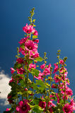 Pink Common Hollyhock Stock Images