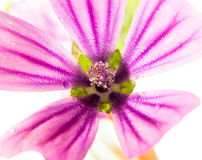 Pink common mallow Malva sylvestris up close on white background Royalty Free Stock Photo