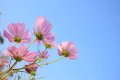 Pink Comos Flowers on sky Stock Photography