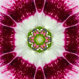 Pink Concentric Flower Center Mandala Kaleidoscope. Pink, Purple Concentric Wild Flower Center.  Mandala Kaleidoscopic design Royalty Free Stock Photo