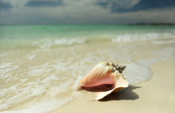 Pink conch seashell Stock Image