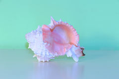 Pink Conch Shell Royalty Free Stock Photography
