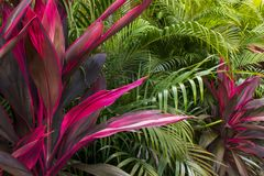Pink Condyline Fruticosa. Cordyline Fruticosa on its pink form. Beautiful lansdcape, rich vegetation Royalty Free Stock Images