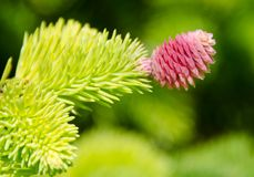 Pink cone of evergreen larch tree Stock Photo
