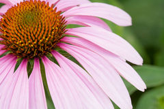 Pink Cone Flower Royalty Free Stock Images