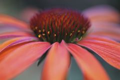 Pink cone flower Royalty Free Stock Photography