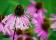 Pink Cone Flower. A pink Cone Flower grows in a garden Royalty Free Stock Image