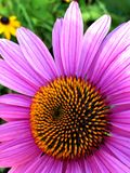 Pink Cone Flower. Single Echinacea flower with pink petals, fills frame Stock Photos