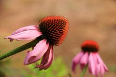 Pink Cone Flower Royalty Free Stock Photos