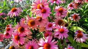 Pink cone flowers stock video