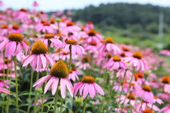 Pink Cone Flowers Stock Photography
