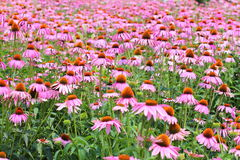 Pink Cone Flowers Royalty Free Stock Photos