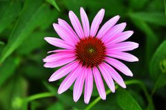 Pink coneflower Stock Image