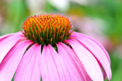 Pink Coneflower. Close-up of a pink coneflower Royalty Free Stock Image