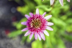 Pink coneflower blooming in garden, sunny summer day. stock photography