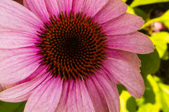 Pink Coneflower (Echinacea), Close-up Royalty Free Stock Images