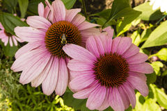 Pink Coneflower (Echinacea) Getting Pollinated Royalty Free Stock Image