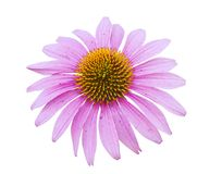 Pink coneflower head Royalty Free Stock Images