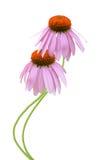 Pink coneflowers (Echinacea) Stock Image