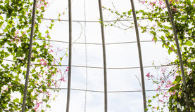 Pink Confederate vine blooming gliding along the cage Stock Images
