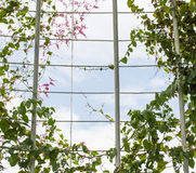 Pink Confederate vine blooming gliding along the cage Stock Photo