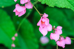 Pink Confederate vine flower Royalty Free Stock Photo