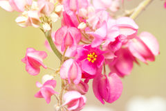 Pink Confederate vine  , Mexican Creeper Stock Photo