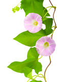 Pink convolvulus Stock Images