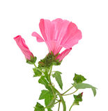 Pink convolvulus flowers Royalty Free Stock Photography