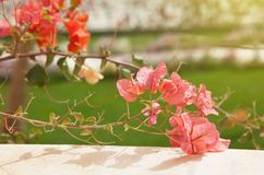 Pink and coral Bougainvillea flowers on green grass background blurry. Travel and vacation concept royalty free stock image