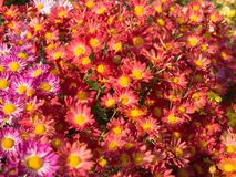 Pink and Coral colored Chrysanthemum Flowers stock photography