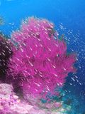 Pink coral with school of fish. Pink coral growing on sea or ocean bottom with school of silvery fish Stock Photo