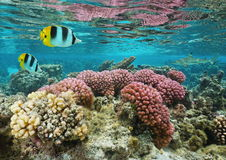Pink coral in shallow water French Polynesia Stock Photo