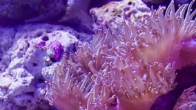 Pink coral underwater stock video footage